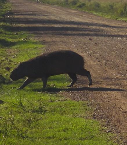 06-capybara1