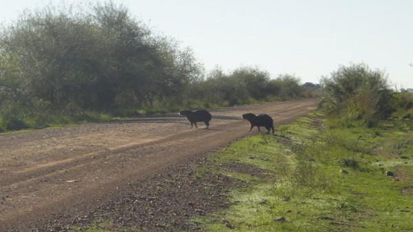 07-capybara2