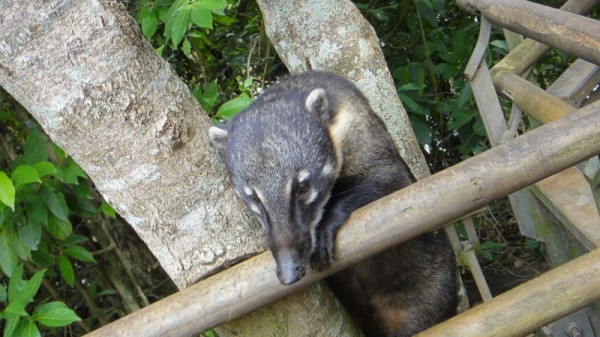 07-petit nez de coati