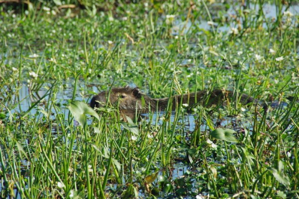 3-capybara dans l'eau