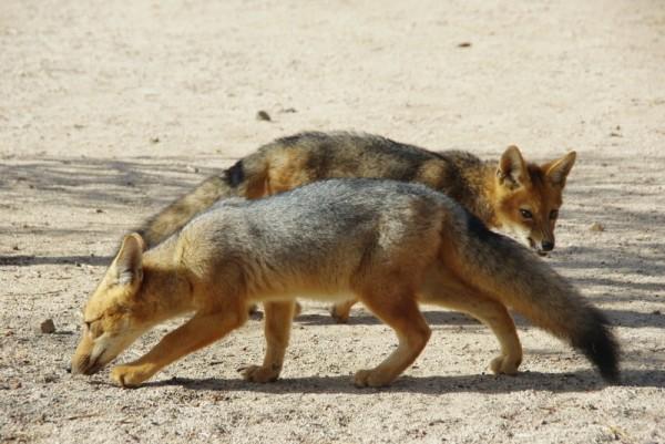 06-renards