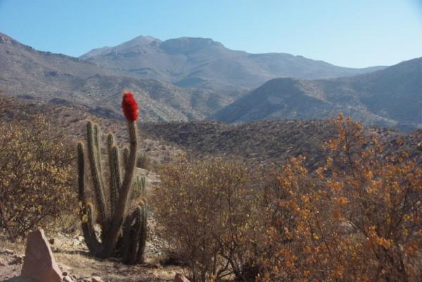 22-cactus et plante parasite rouge