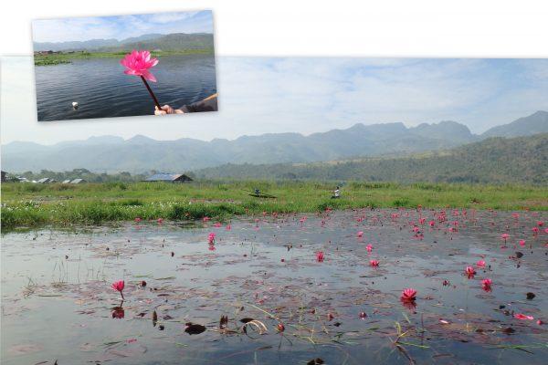 Parmi les fleurs de lotus