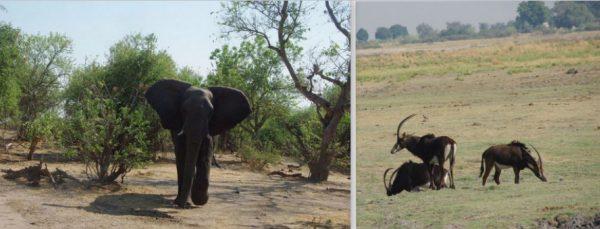 éléphant et hippotraques