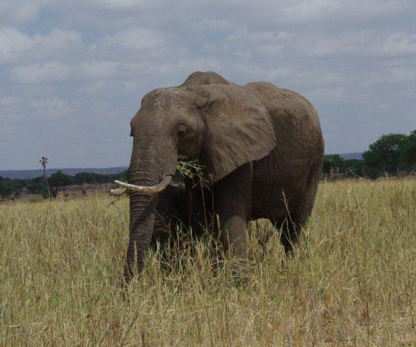 05-éléphant qui broute