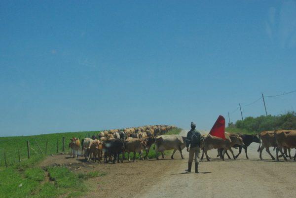 05-des troupeaux énormes
