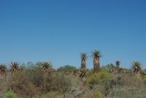06-cactus ou arbres