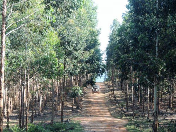 06-forêt d'eucalyptus