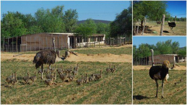 07-une famille autruche
