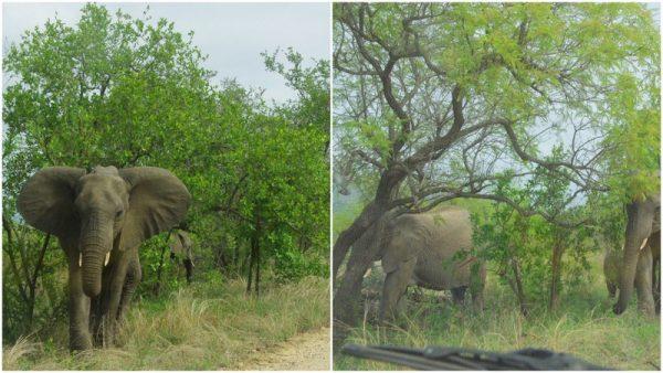 09 éléphants nerveux