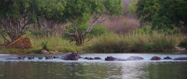 10-hippos-001