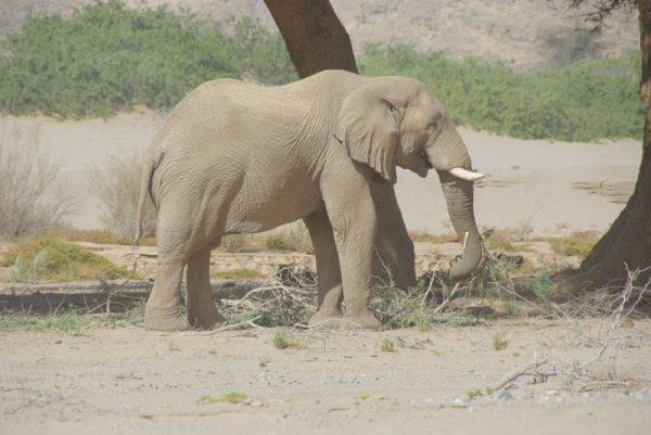 12 éléphant du desert