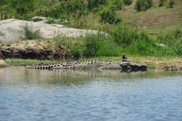 12 crocodile