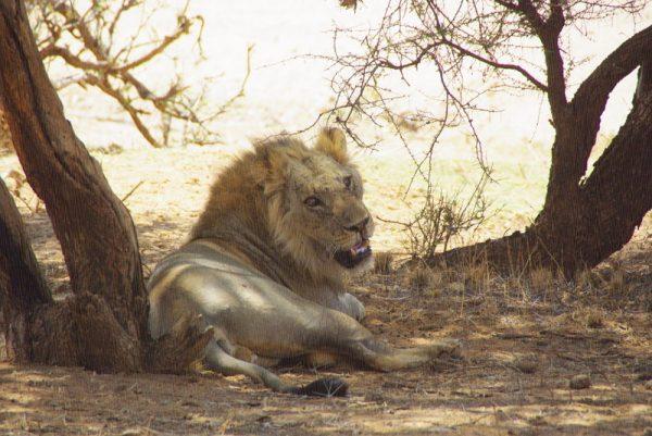 12-lion