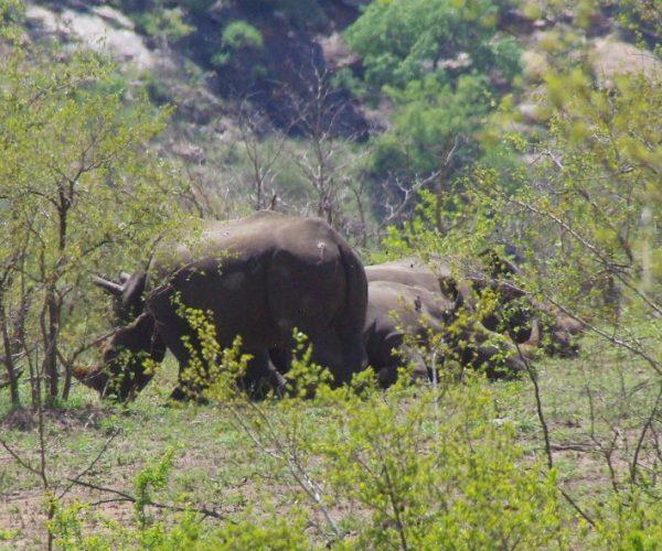 13 les 4 premiers rhinos