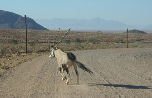 14-oryx qui a eu chaud, nous aussi