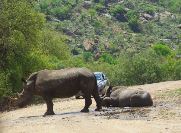 15 rhinos qui font un sitting
