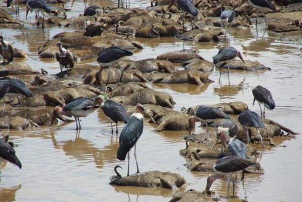 19-gnous morts noyés dans la rivière