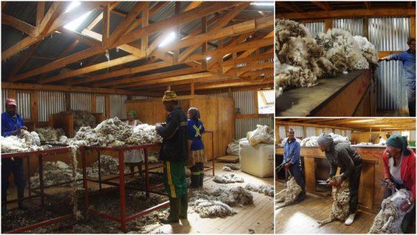 21 les trieurs de laine
