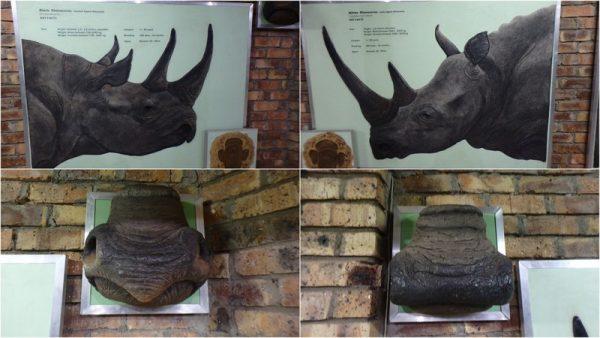 31 rhino noir à gauche, rhino blanc à droite