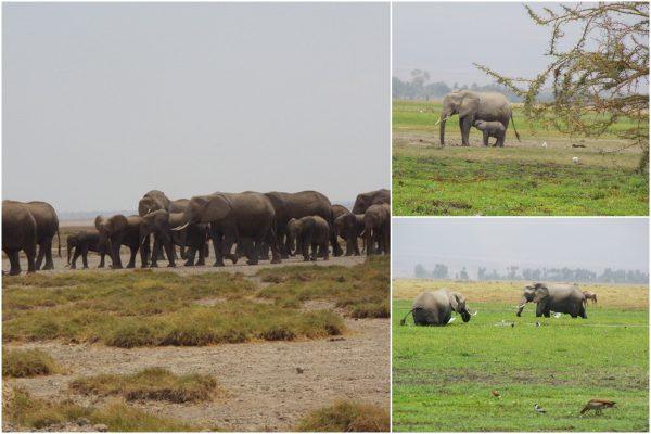 Des troupeaux d'éléphants