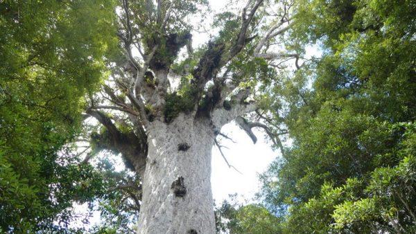 08- le plus grand kauri