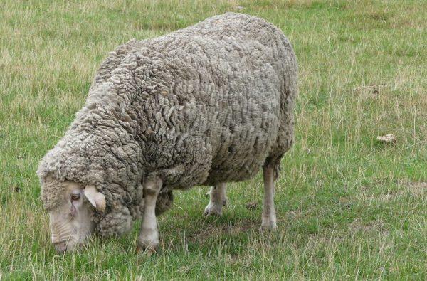 08-mouton merinos