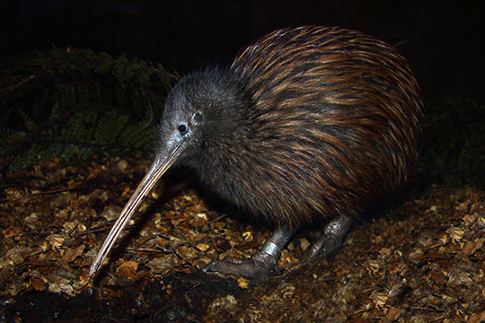 Viator Photo ID: 146291 / Orig name: Queenstown_Kiwi Birdlife Park_TripAdvisor UGC_027b839c.jpg / Source Type: TripAdvisor UGC / Source ID: 027b839c / Tags: Queenstown, Kiwi, Birdlife, Park, / Uploaded by: jnaldi /